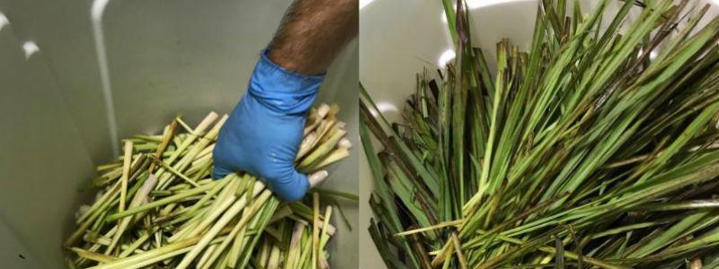 lemongrass800x300