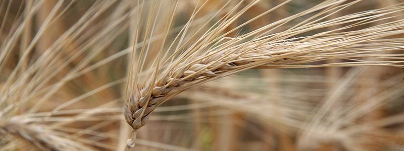 BarleyWeb1